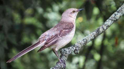 Mockingbird Again
