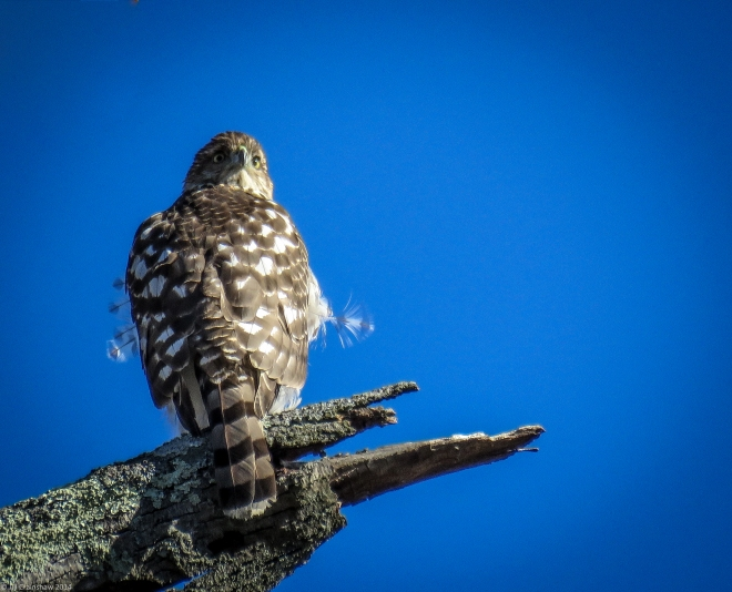 December Hawk 2014