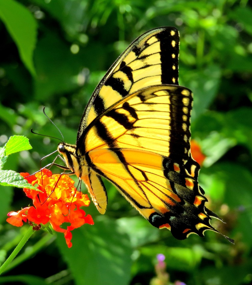 Butterfly 1_1